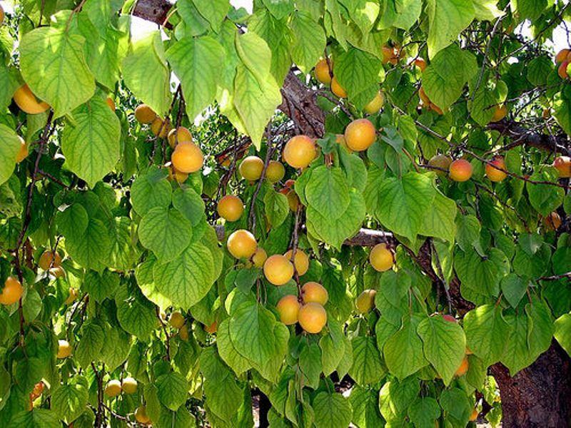 дерево абрикосовое