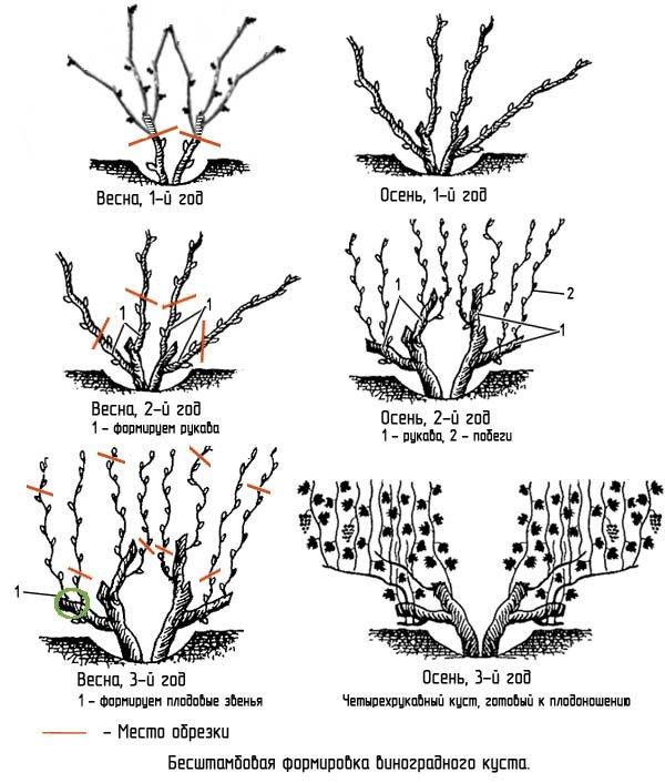 Схема обрезки винограда весной фото