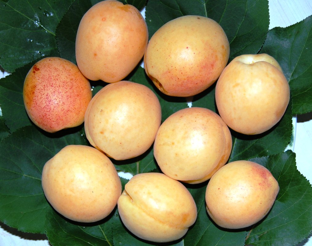 плоды абрикоса шалах