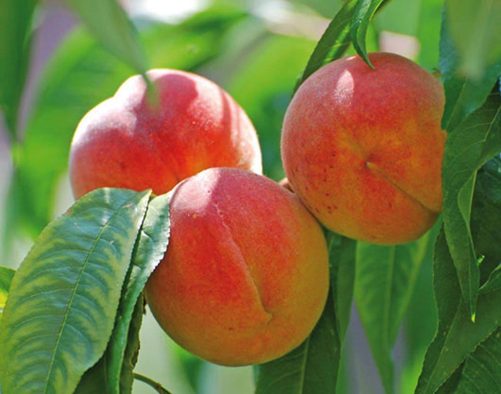 плоды персика кардинал