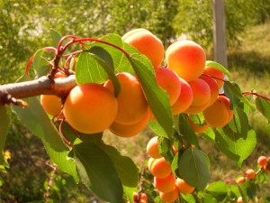 привитый абрикос фото