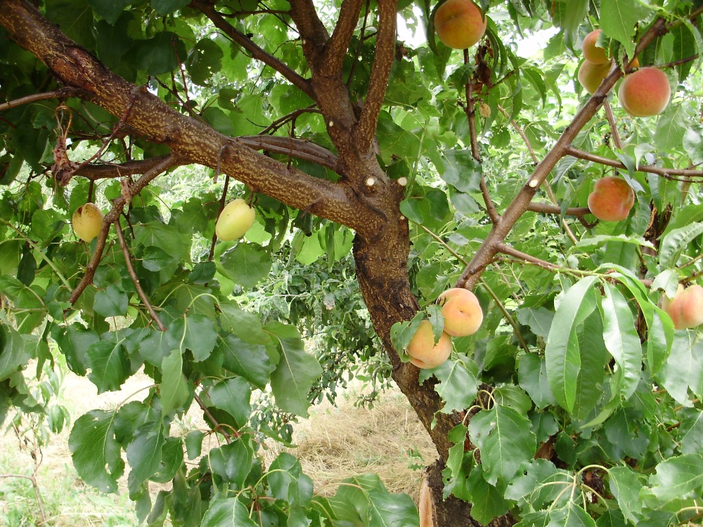 прививка груши и абрикоса