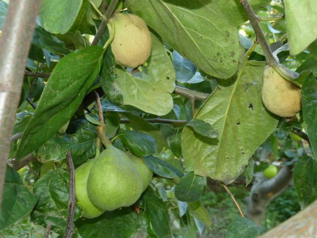 прививка яблони на грушу