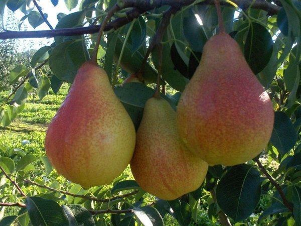 Плоды груши сорта Просто Мария фото