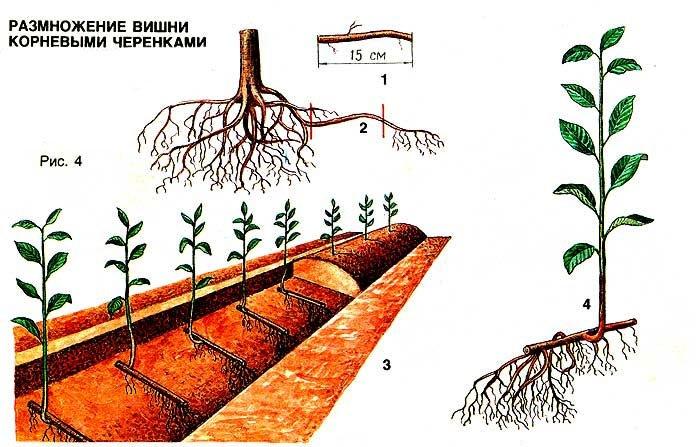 размножение вишни черенками