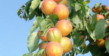 шалах плоды