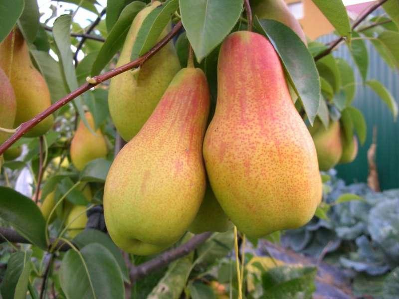 талгарская красавица плоды