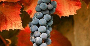 Виноград осенью фото