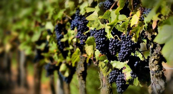 Гроздья винограда фото