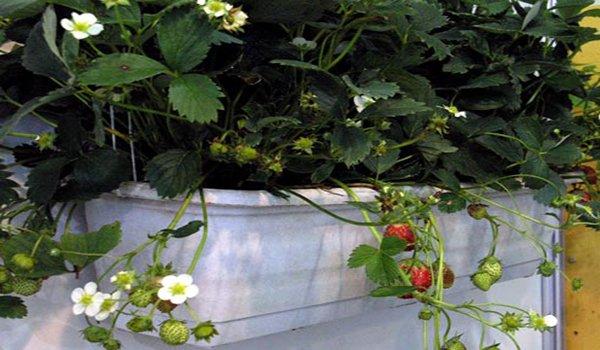 клубника цветет на балконе
