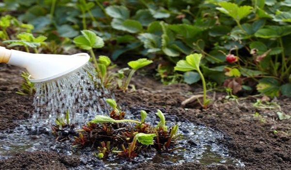 полив клубничных кустов