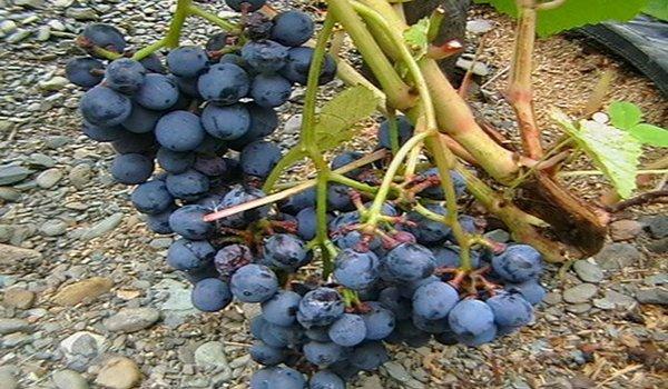 винный сорт винограда