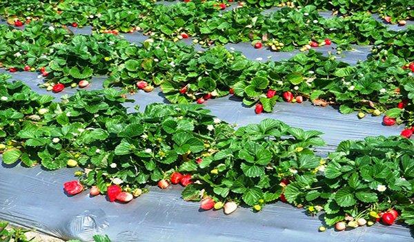 пример выращивания клубники в открытом грунте