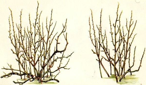пример обрезки запущеного куста смородины