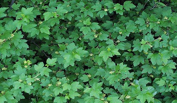 листва альпийской смородины