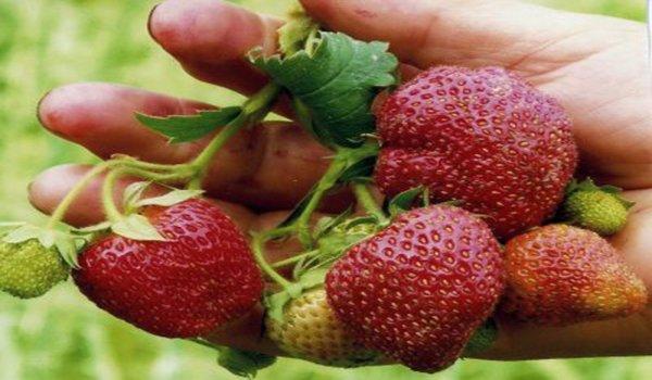 крупные плоды клубники в руке
