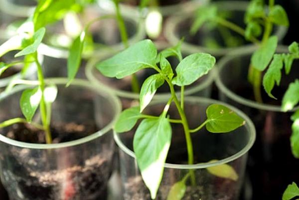 пикировка ростков перца