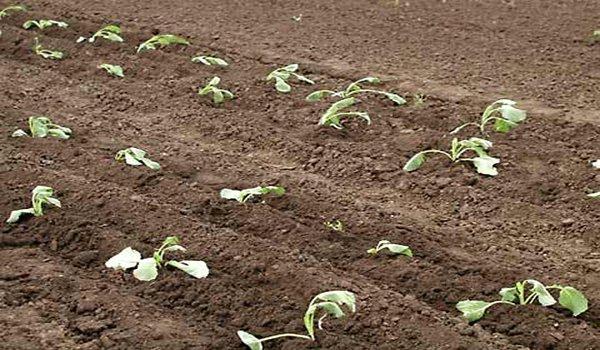 высаженая в грунт рассада савойской капусты