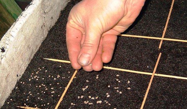 посев семян капусты в грунт