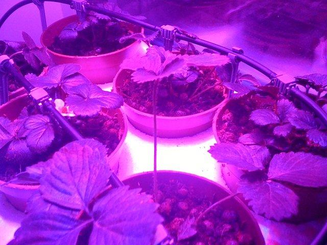 Дополнительное освещение клубничных кустов