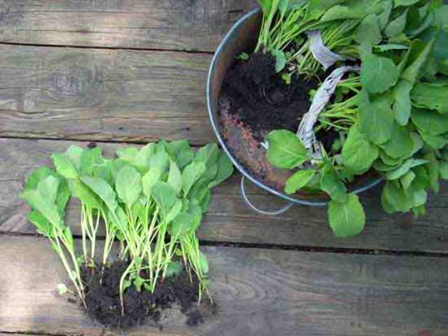 Готовые саженцы капусты для высадки в открытый грунт
