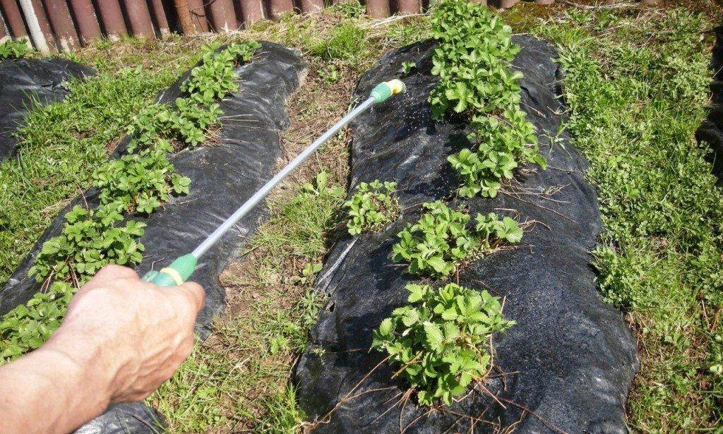 Химическая обработка клубники до периода цветения