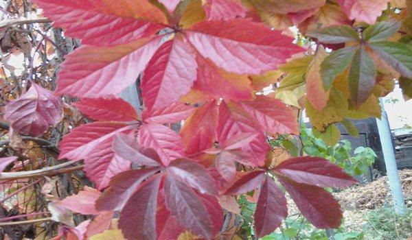 листья девичего винограда