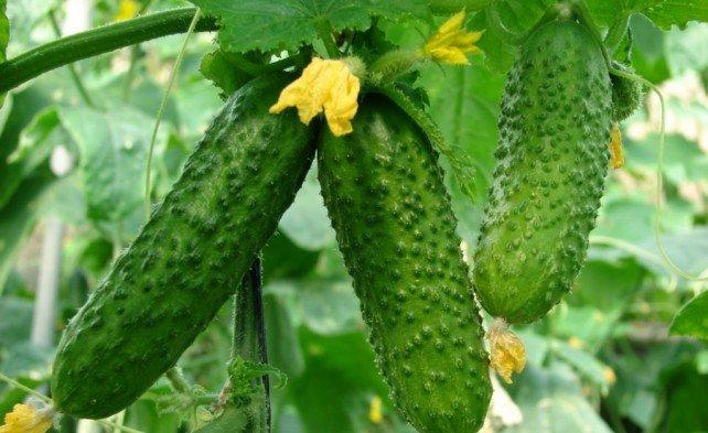 Насекомоопыляемый сорт огурца с плодами