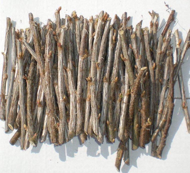 Одревесневшие черенки смородины фото