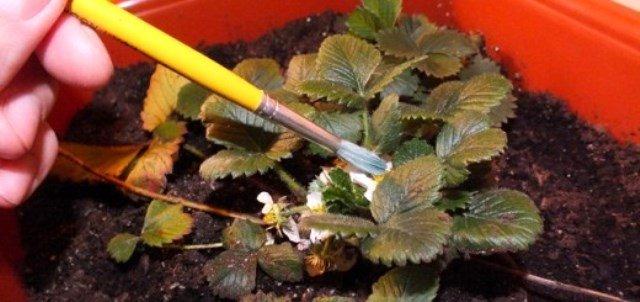 Опыление клубники при помощи кисточки