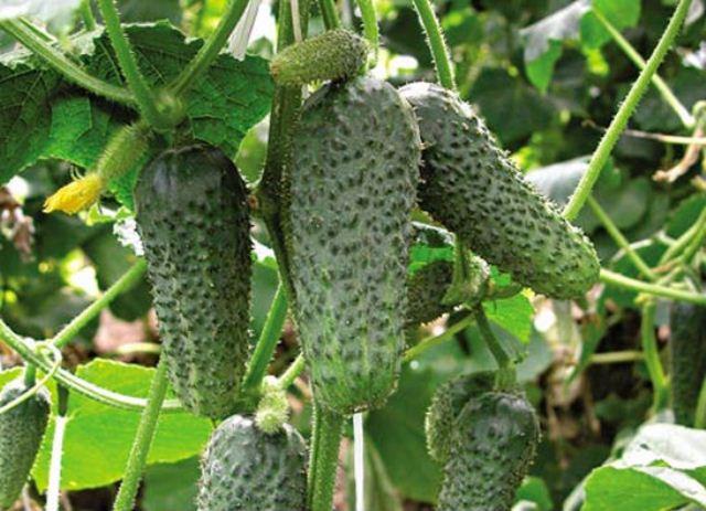 Партенокарпический сорт огурцов с плодами