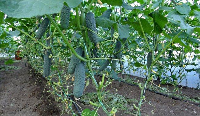 Плодоношение кустов в теплице