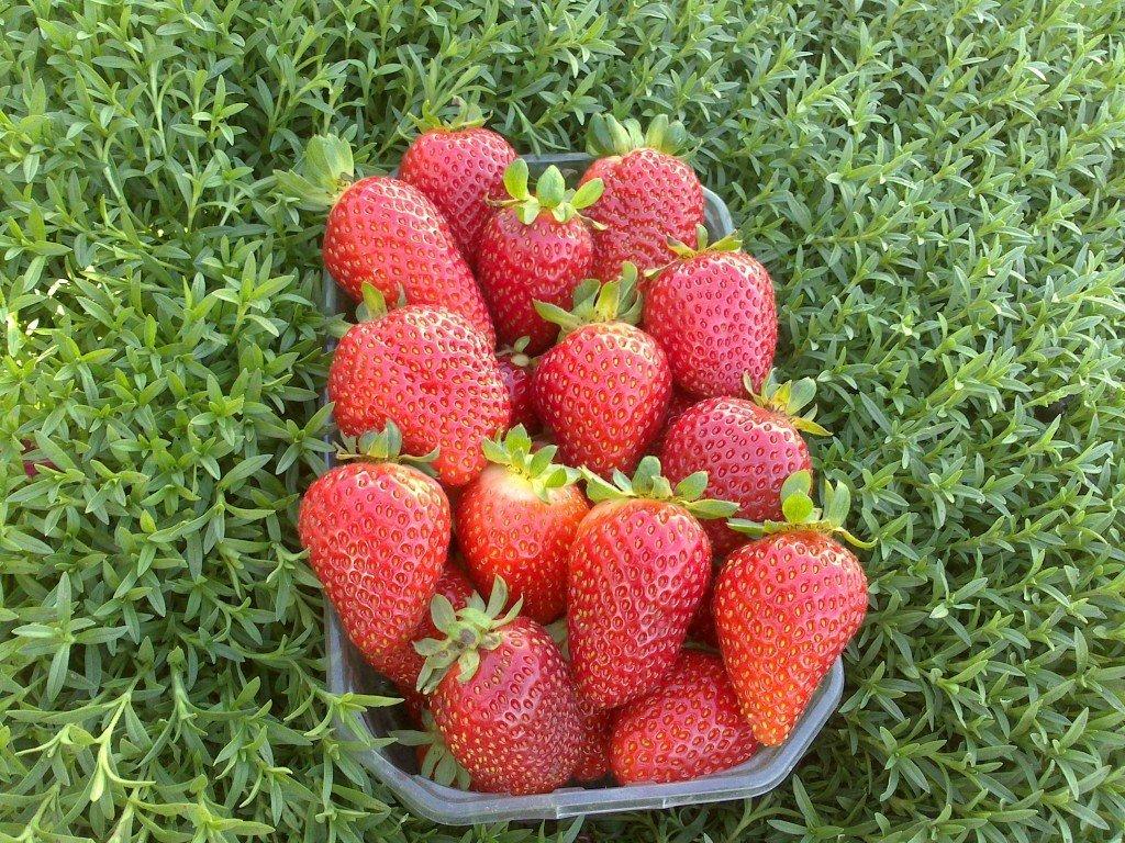 Плоды крупноплодной клубники Альбион