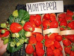 Плоды крупноплодной клубники Монтерей