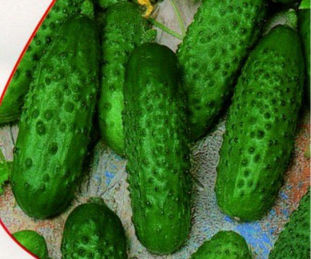 Плоды огурца сорта Анджелина f1