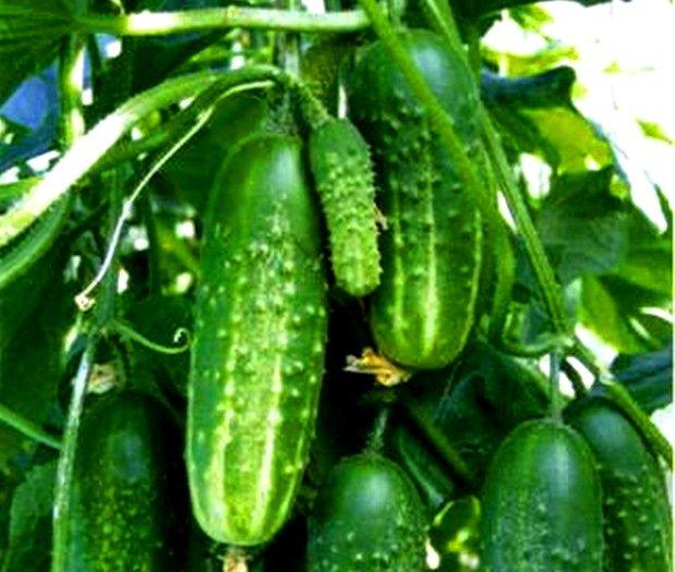Плоды огурца сорта Маринда