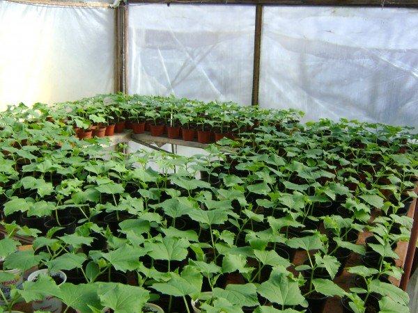 Подготовка рассады для посадки огурцов в теплице