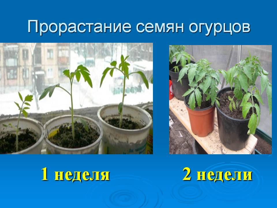 Прорастание семян огурцов для высадки на балконе