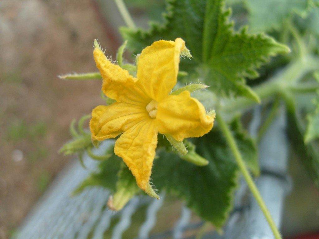 Пустоцвет или мужской цветок огурца