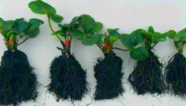 Рассада клубники для домашнего выращивания голландским методом
