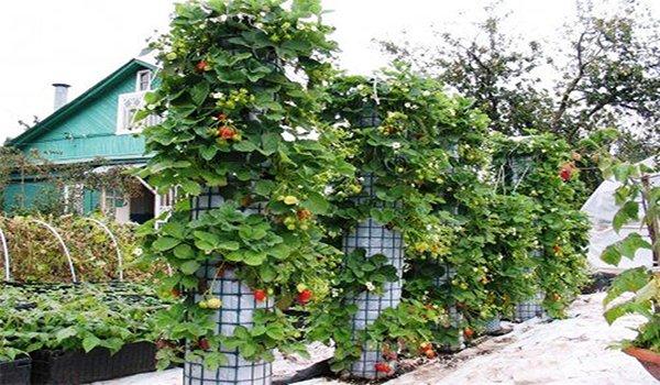 способ выращивания клубники