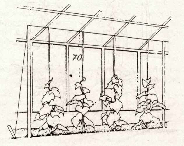 Шпалеры для выращивания огурцов в теплице