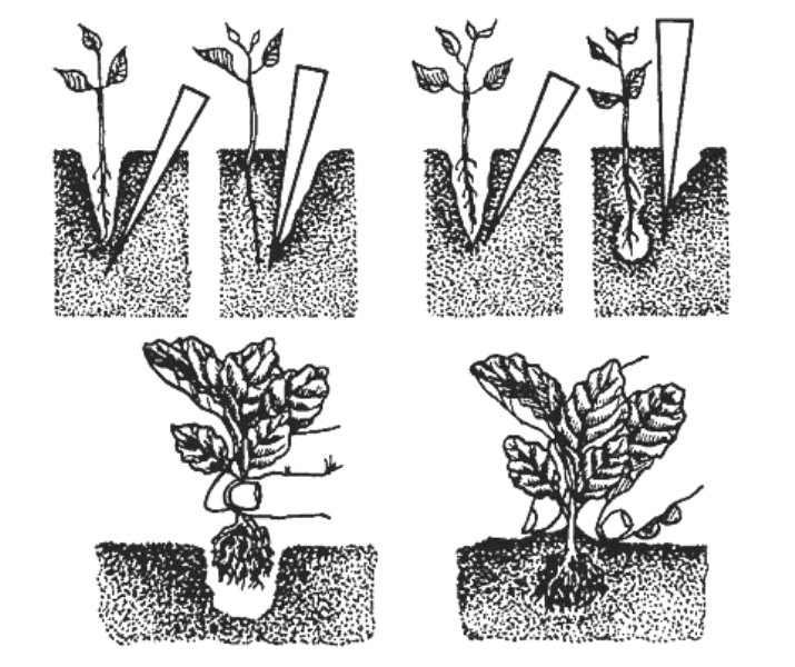Схема пикировки рассады капусты