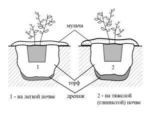 Схема посадки голубики на различных почвах