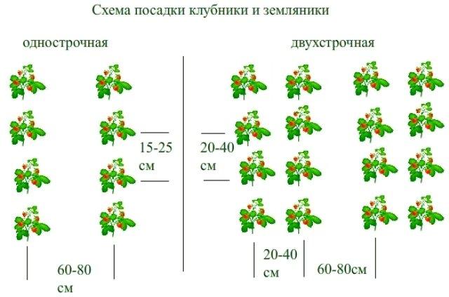Схема посадки ремонтантной клубники