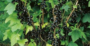 Урожай черной смородины при правильном уходе