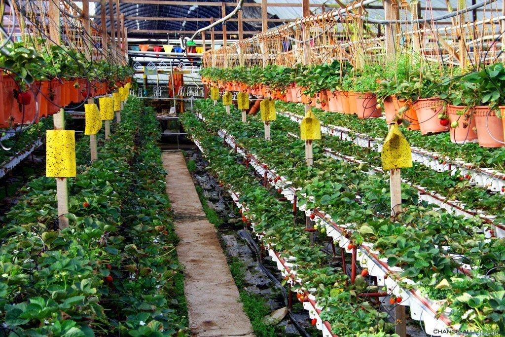 Выращивание клубники круглый год по голландской технологии