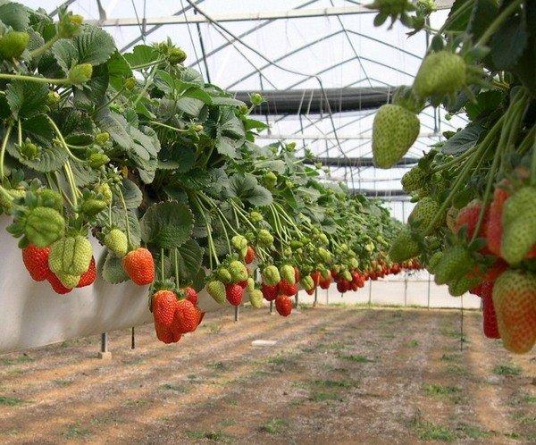 Выращивание клубники в горизонтально расположенных мешках
