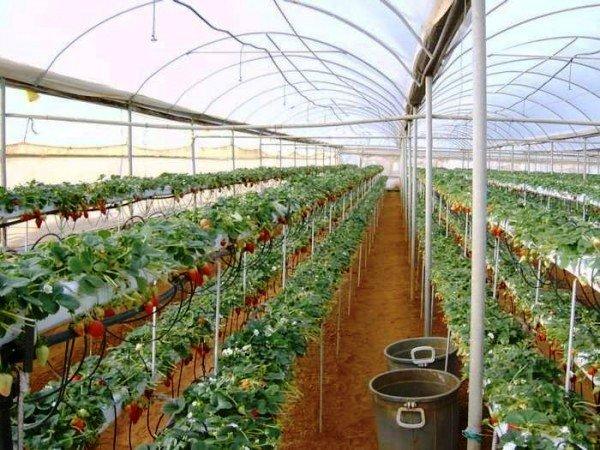 Выращивание клубники в мешках в теплице
