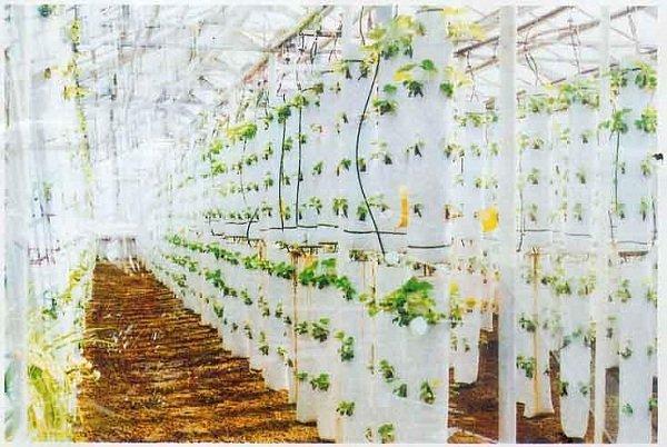 Выращивание клубники в вертикально расположенных мешках